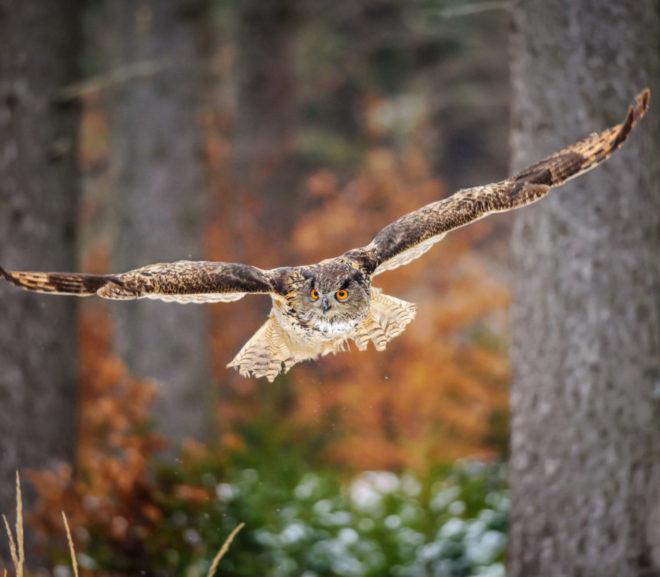 Owl Looking For Prey